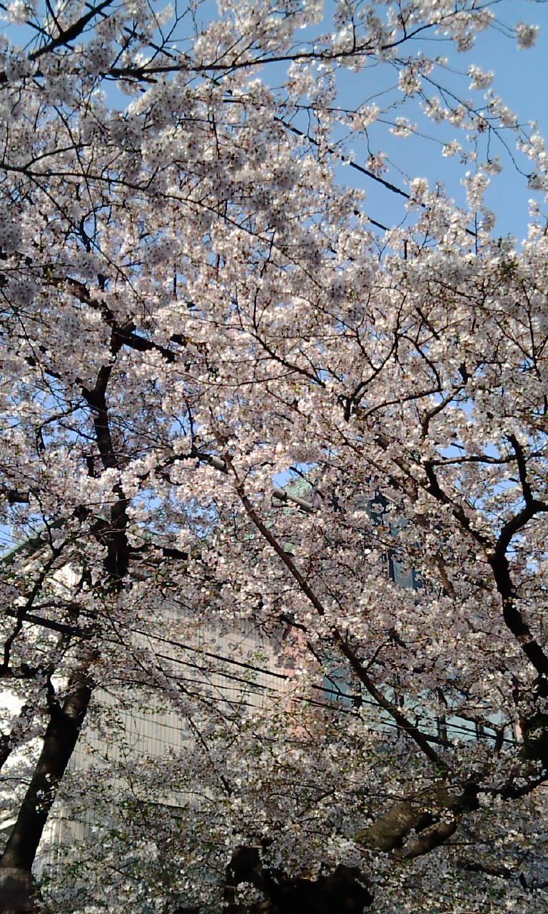 桜〜!!!